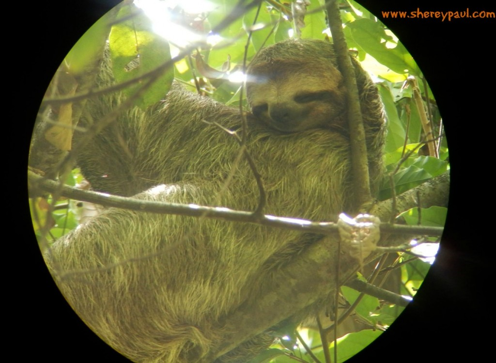 sloth in manuel antonio