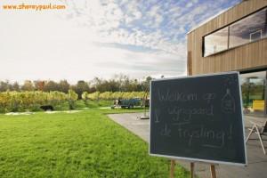 Harvesting grapes in The Netherlands at de Frysling