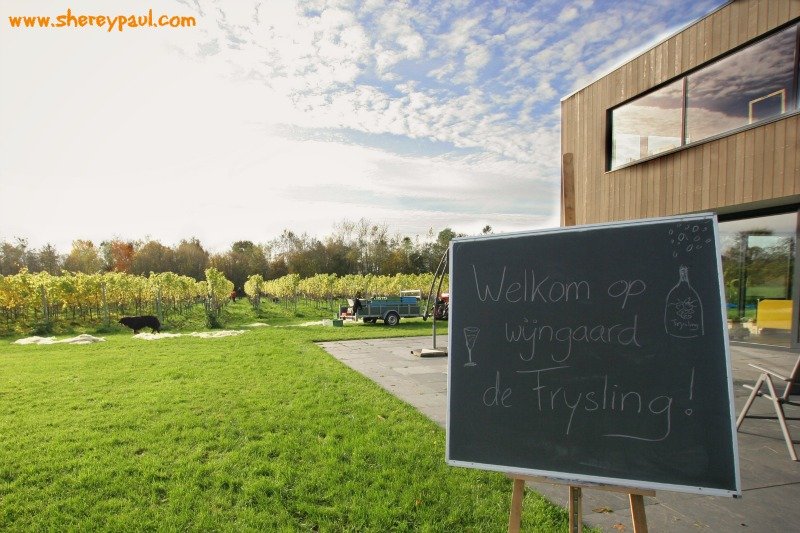 Harvesting grapes in The Netherlands at de Frysling