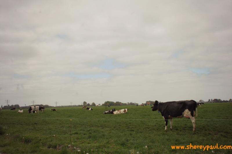 cuddling cows in Friesland 4