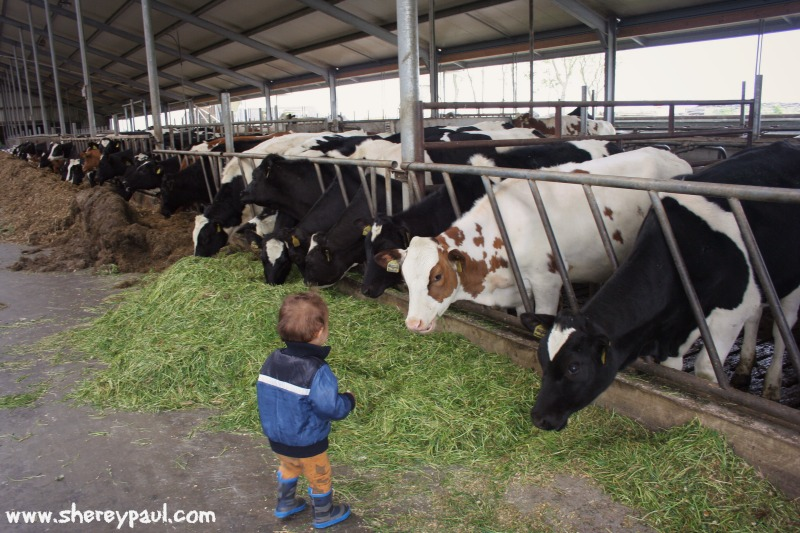 cuddling cows in Friesland 5