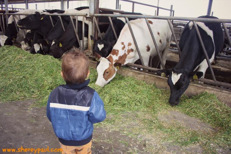 cuddling cows in Friesland