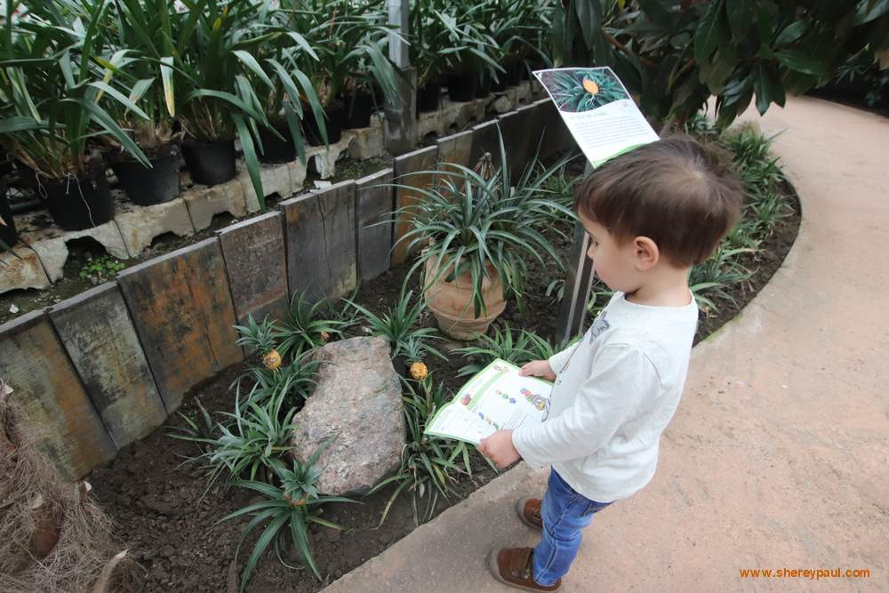 Orchideeën Hoeve met kinderen:  Kijk, ananas!